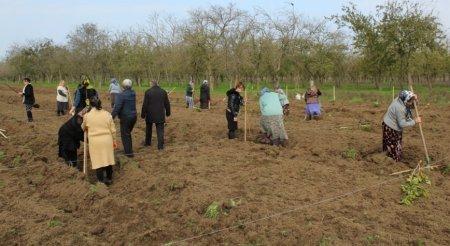 Kalinovka kəndində yeni tut bağları salınır