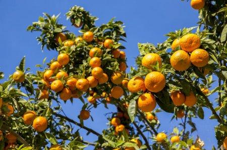 Limonun, naringinin ətri...