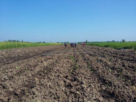 Masallıda bu il 35 hektar sahədə tütün əkiləcək