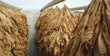 Masallıda bu günədək 200 ton yaş, 15,8 ton quru tütün tədarük olunub