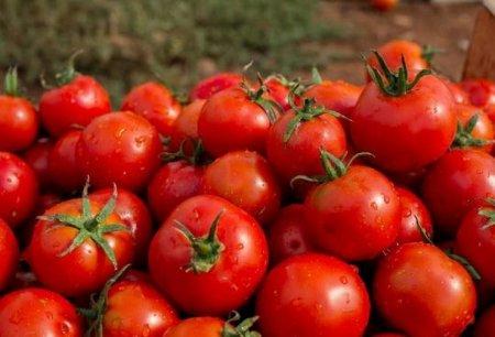 Sərçuvarda bu il də pomidor boldur