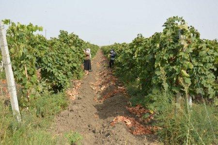 MASALLI - Çaxırlıda üzüm yığımı başa çatıb