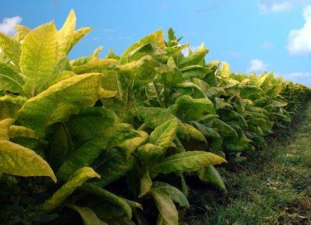 Tüklə ərazisində iki ton tütün tədarük edilib