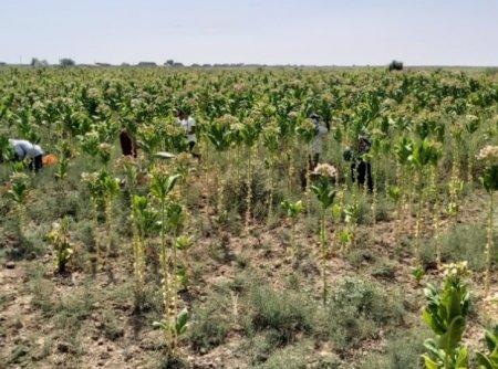 Qızılağac ərazisində tütün əkib becərilir