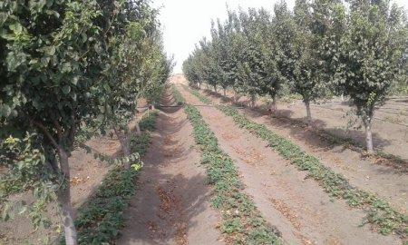 MASALLI - Lürəndə meyvə bağları